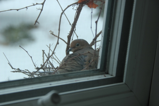 Blog Photo - Dove in Freezing weather 3