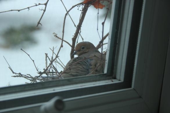 Blog Photo - Dove in Freezing weather 3