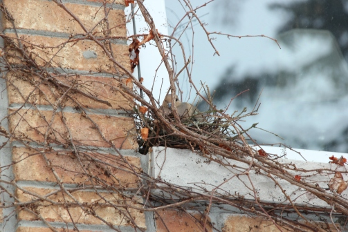Blog Photo - Dove in Freezing weather