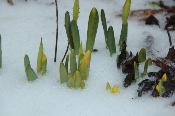 Blog Photo - Frozen daffodils