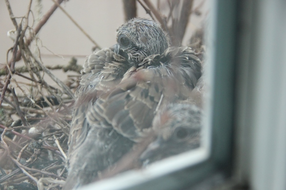 Blog Photo - Dove babies getting their feathers