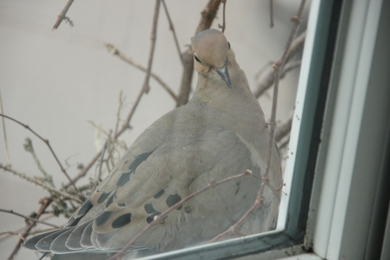 Blog Photo - Dove looks back