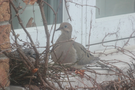 Blog Photo - Dove Parent and Babies