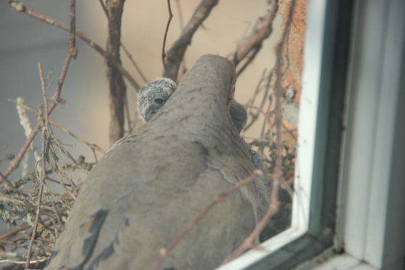 Blog Photo - Dove parent feeds growing offspring