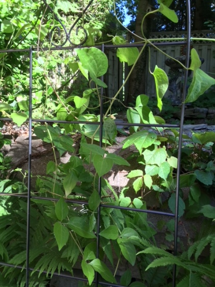 Blog Photo - Garden Clematis vine in June