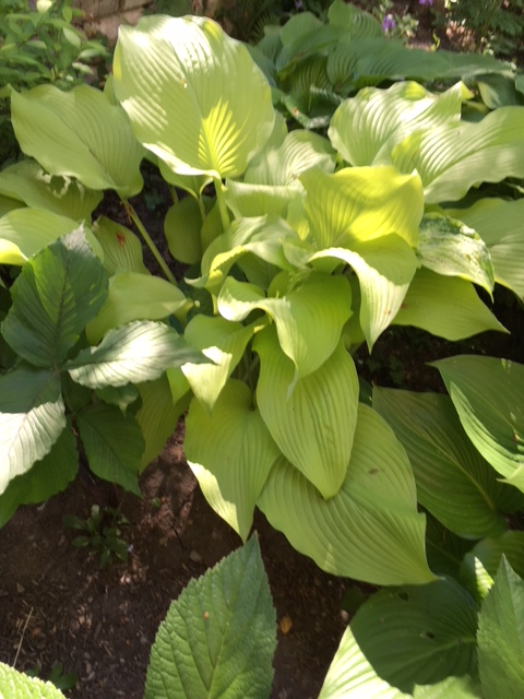 Blog Photo - Garden Light Green large hosta