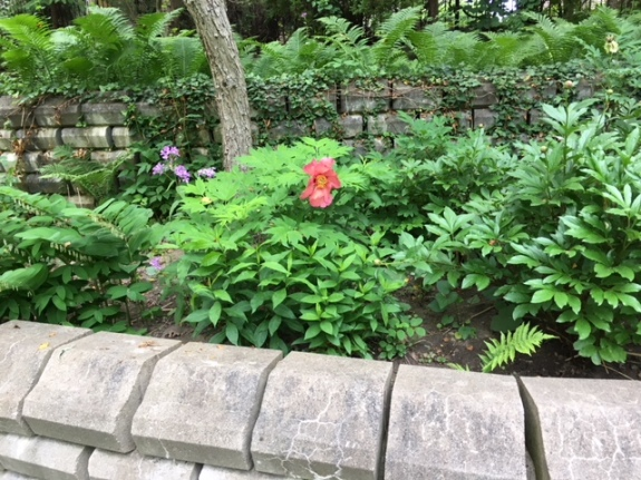 Blog Photo - Garden peony shrubs and walls