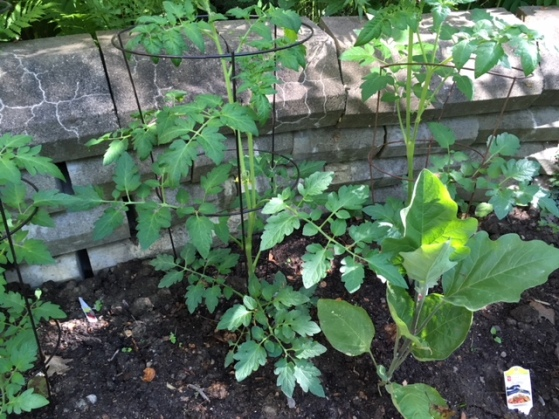 Blog Photo - Garden Tomatoes and eggplant plants