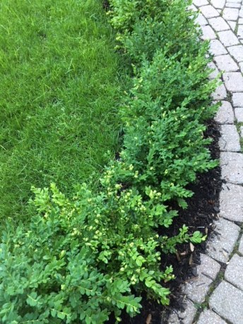 Blog Photo - Boxwood along path