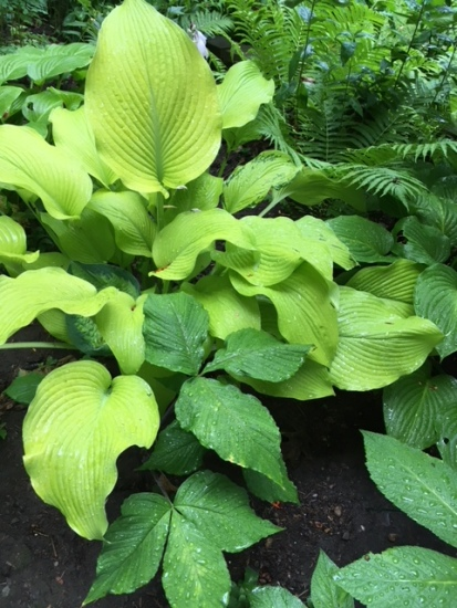 Blog Photo - Garden Hosta and Jacks