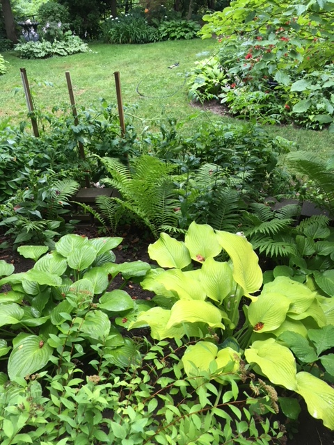 Blog Photo - Garden Hostas and lawn from other side
