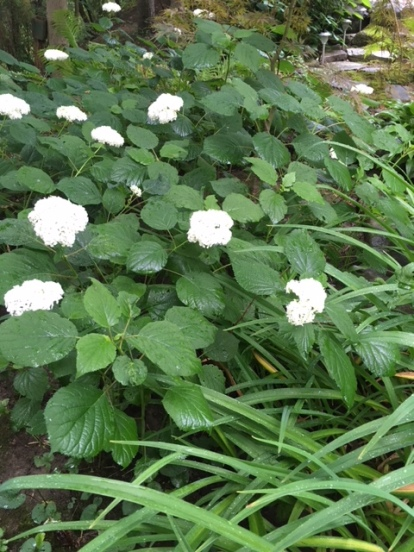Blog Photo - Garden Hydrangea and hint of woodland path