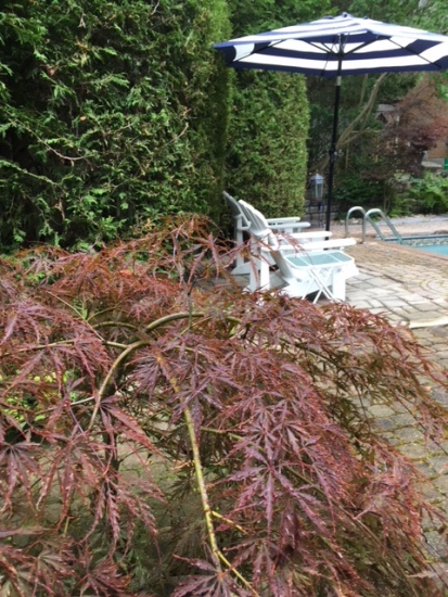 Blog Photo - Garden Japanese maple and cedars and chairs