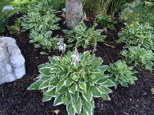 Blog Photo - Hosta around tree