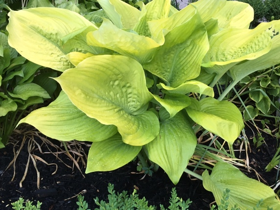 Blog Photo - Hosta Giant Sum and Substance
