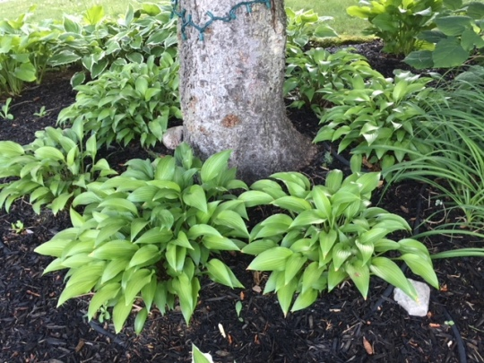 Blog Photo - Hosta green around tree