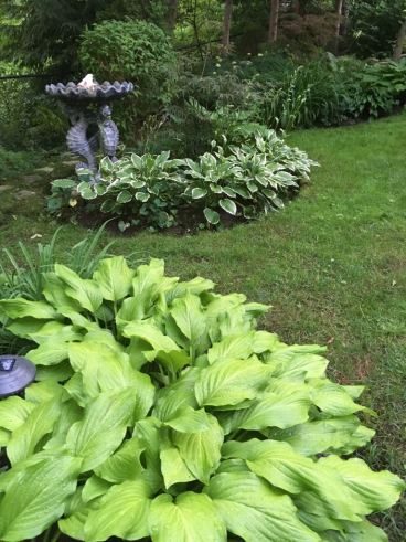 Blog Photo - Hostas and bird bath