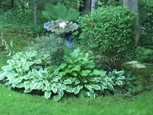 Blog Photo - Hostas of different colours