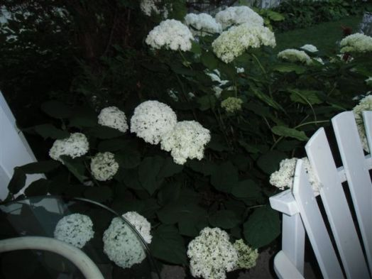 Blog Photo - White garden Hydrangea several