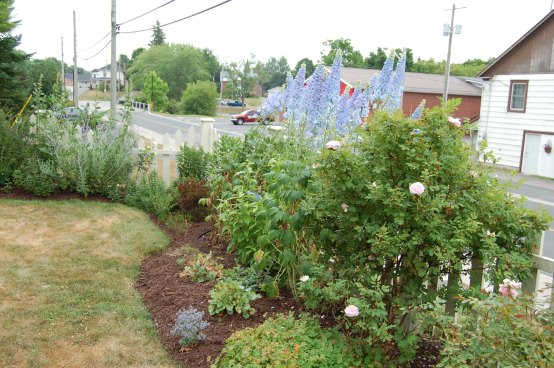 Blog Photo - Carol garden delphinium over street