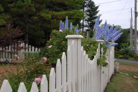 Blog Photo - Carol garden delphiniums over fence - gorgeous