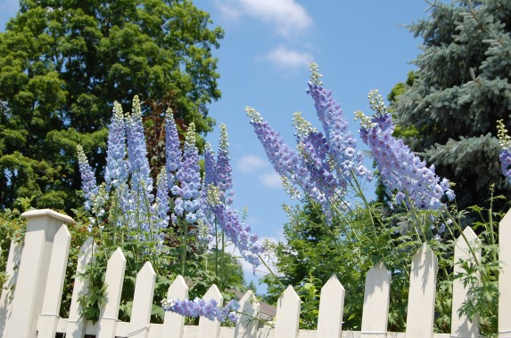 Blog Photo - Carol garden glorious photo of delphinium over fence