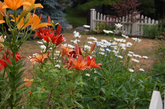 Blog Photo - Carol Garden orange lilies - picket fence in bg