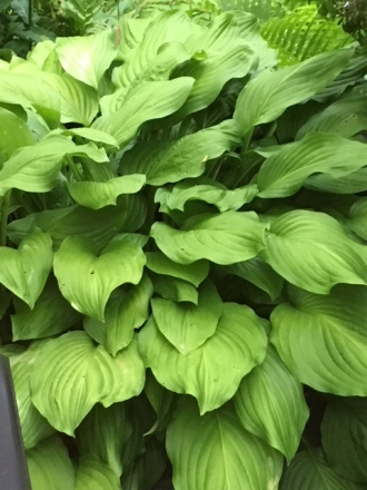 Blog Photo - Garden Hosta cu
