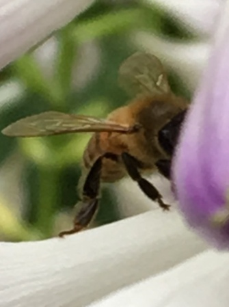 Blog Photo - Garden 2018 Bee ECU