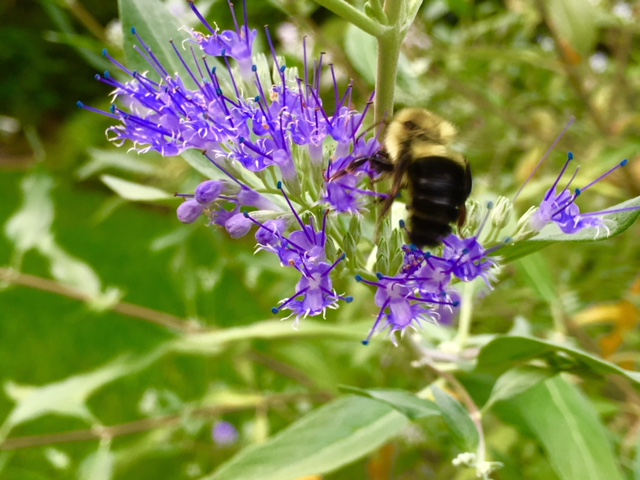 Blog Photo - Garden 2018 Bee on Blue shrub
