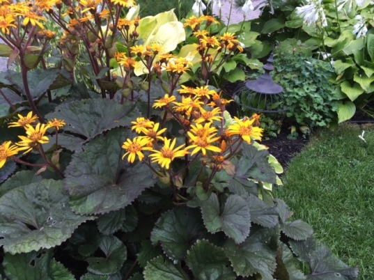 Blog Photo - Garden 2018 Ligularia Yellow Blooms in border