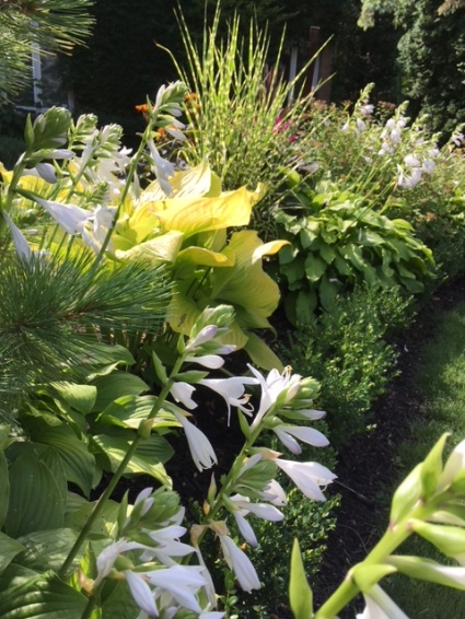 Blog Photo - Garden August 2018 - Hosta in front