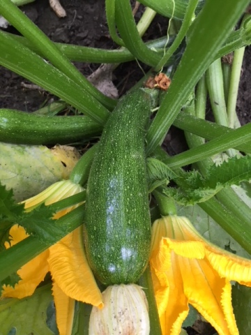 Blog Photo - Garden August 2018 - Zucchini and Flower