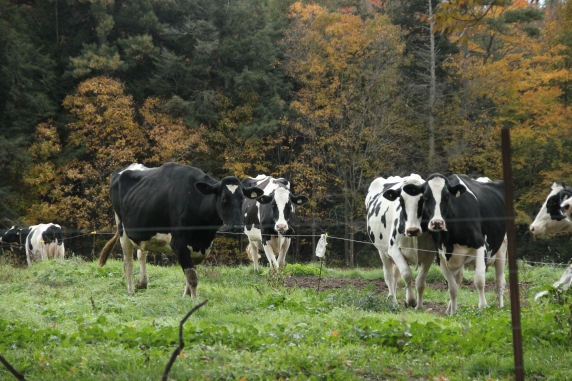 Blog Photo - Autumn countryside Cows in Pasture