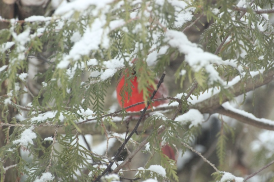 Blog Photo - Cardinal in Snow