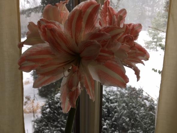 Blog Photo - Amaryllis and Snow wider shot
