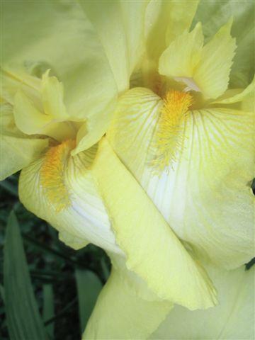 Mama's Garden Yellow Iris CU