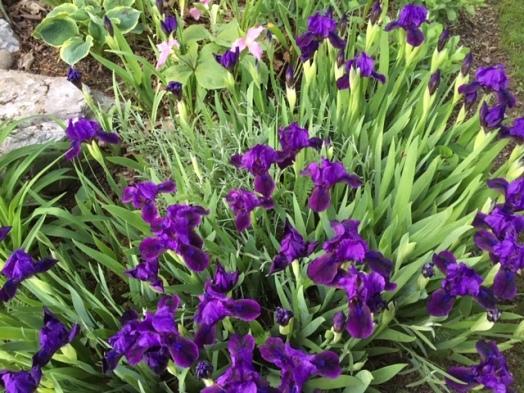 Blog Photo - Iris and Trillium