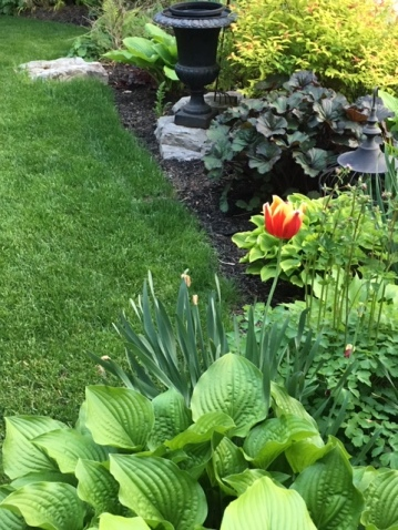 Blog Photo - Tulip stray in Garden bed
