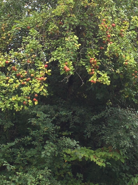 Blog Photo - Late summer garden apples turning on tree branches
