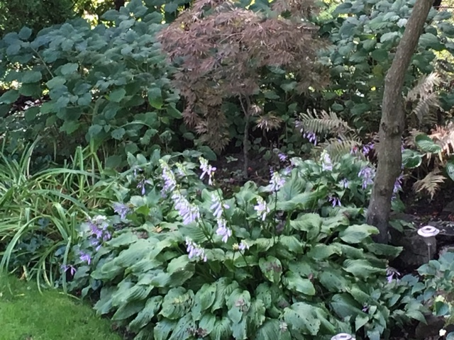 Blog Photo - Late Summer Garden Hosta and J Maple