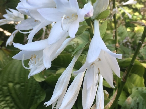 Blog Photo - Late summer garden hosta white fragrant CU2