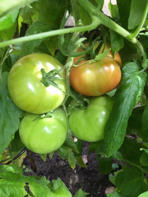 Blog Photo - Late summer garden tomatoes