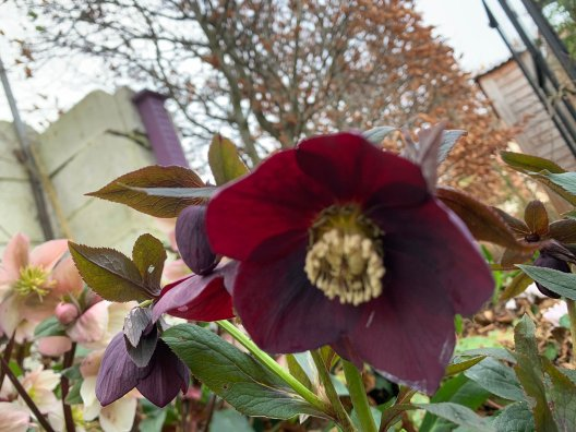 Blog Photo - Ciaran garden - Hellebores deep red