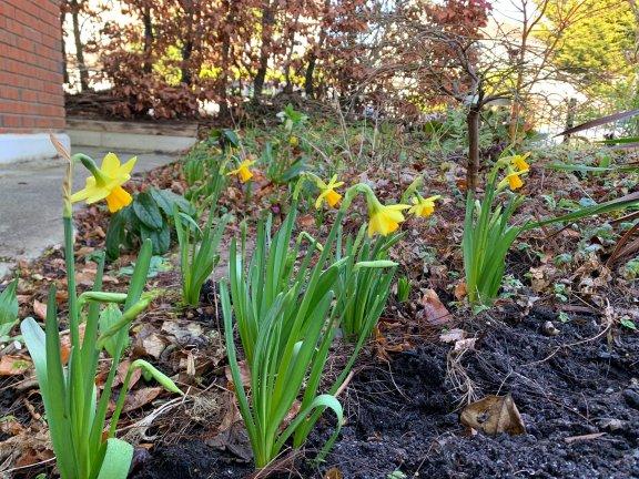 Blog Story - Ciaran Daffodils blooming