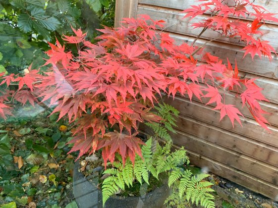 Blog Story - Ciaran Japanese maples