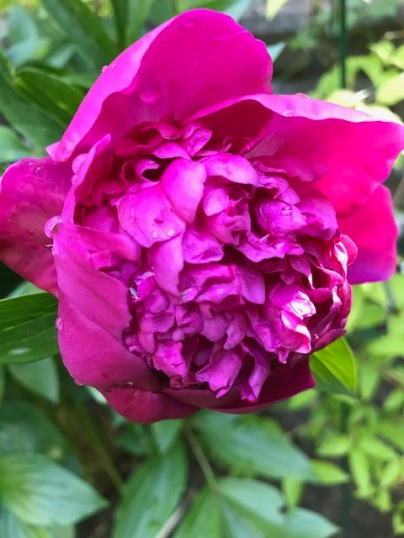 Blog Photo - Garden June 2020 - Deep Pink Peony opening