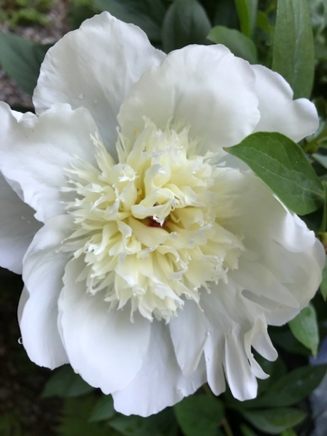 Blog Photo - Garden June 2020 - White Peony 2