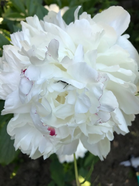 Blog Photo - Garden June 2020 - White Peony with Bee legs showing in centre
